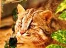 山猫1.jpg