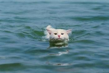 岩合さんの泳ぐ猫.jpg