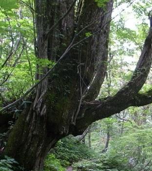 桂の樹.jpg