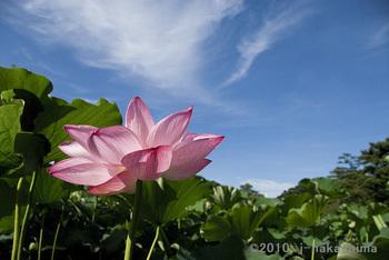 青空と蓮の花.jpg