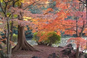 池の開放感のある紅葉の木.jpg