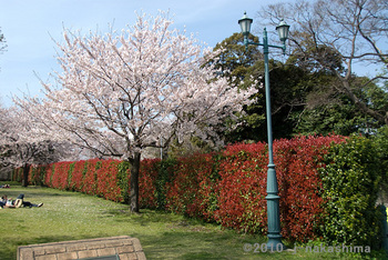 満開の桜の一本.jpg